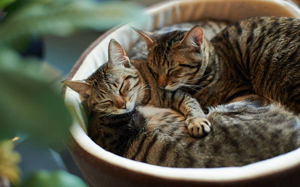 05.カゴの中で丸まって眠る仲の良い猫達の可愛い写真壁紙画像