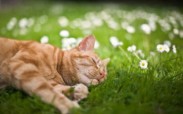 07.お花畑で気持ち良さそうに眠る猫の綺麗な写真壁紙画像