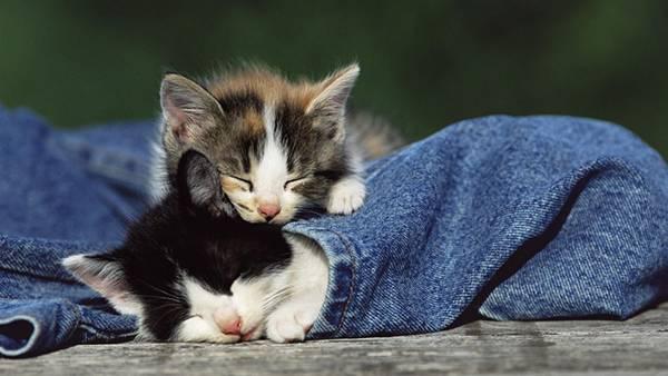 12.ジーンズの中に潜り込んで眠る2匹の子猫の可愛い写真壁紙画像