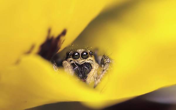 黄色い花の中に隠れたつぶらな瞳のクモの可愛い写真壁紙画像