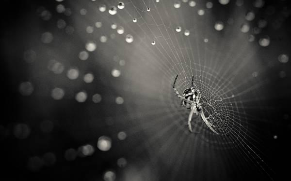クモと雫のついた蜘蛛の巣をモノクロで撮影したかっこいい写真壁紙画像