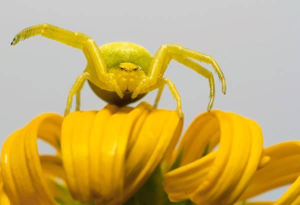黄色い花の上で擬態する黄色い蜘蛛の可愛い写真壁紙画像