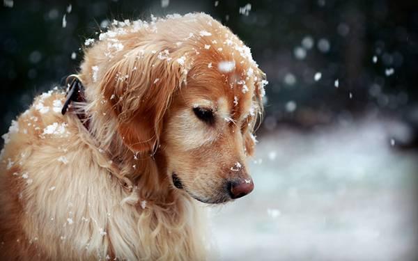 雪のついた犬をアップで撮影した綺麗な写真壁紙画像