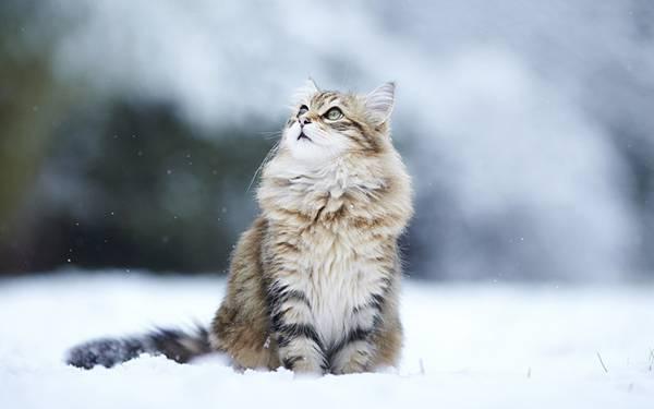雪の中で空を見上げる猫の綺麗な写真壁紙画像