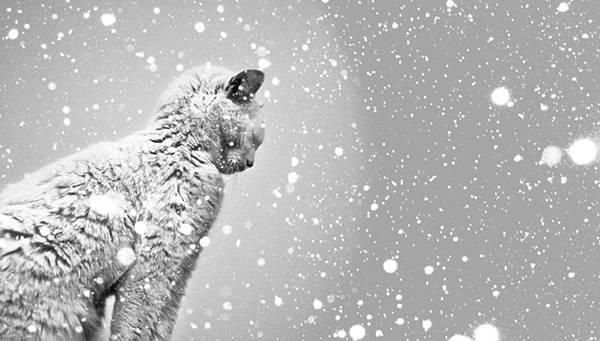 降りしきる雪の中の猫をモノクロで撮影した写真壁紙画像