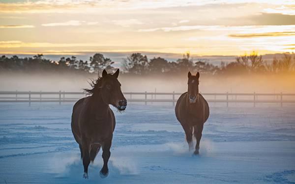 雪の牧場を駆ける2頭の馬を撮影した綺麗な写真壁紙画像