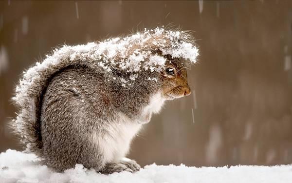 ふさふさの尻尾で雪をよけるリスの可愛い写真壁紙画像