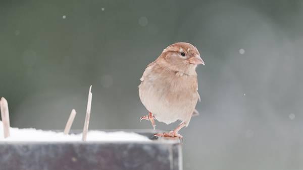 雪の中で片足をあげた可愛いポーズの鳥の写真壁紙画像