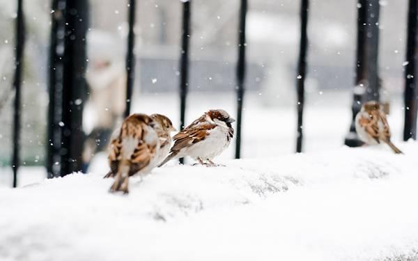 雪の中で寒そうにしているスズメたちの可愛い写真壁紙画像