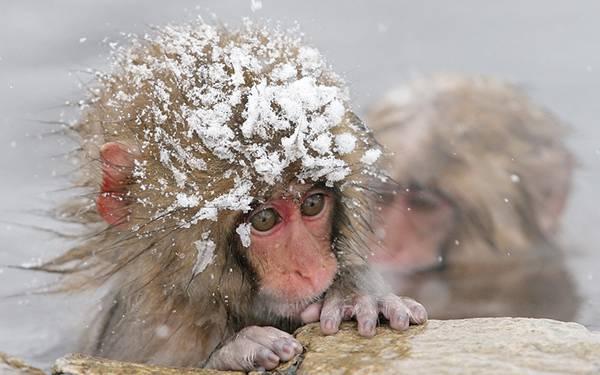 頭に雪をかぶったまま温泉に入る小猿の可愛い写真壁紙画像