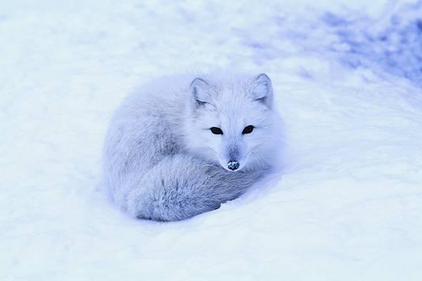 雪の中で丸まる子狐の綺麗な写真壁紙画像