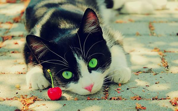 12.さくらんぼと猫を鮮やかな色合いで撮影した綺麗な写真壁紙画像