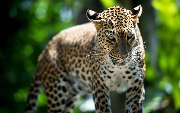02.獲物に狙いを定めたような表情のジャガーを撮影した写真壁紙画像