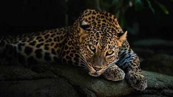 03.前足にアゴを載せたポーズのジャガーを撮影したかっこいい写真壁紙画像