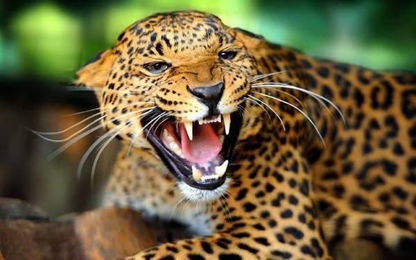 04.耳を伏せて威嚇するジャガーを撮影したかっこいい写真壁紙画像