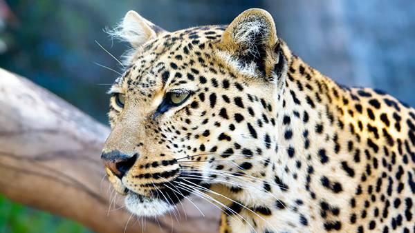 05.ジャガーの横顔をアップで撮影したクールな写真壁紙画像