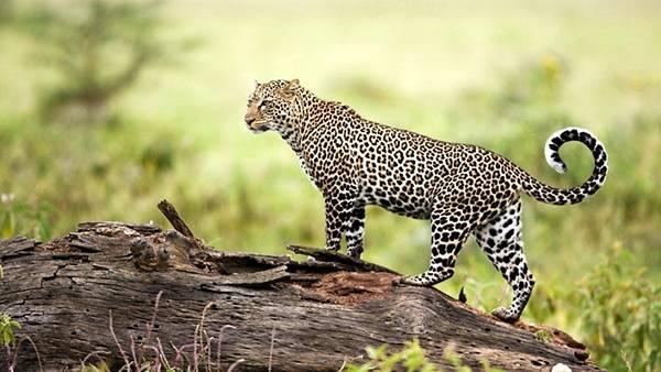 07.倒れた木の上に立ったジャガーを撮影した綺麗な写真壁紙画像
