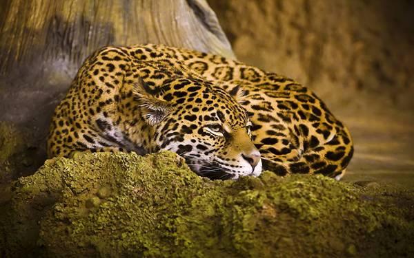 08.岩の上にアゴを乗せてふせたポーズのジャガーを撮影した写真壁紙画像