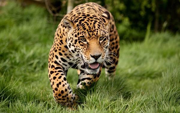 09.草原を歩くジャガーを正面から撮影した綺麗な写真壁紙画像