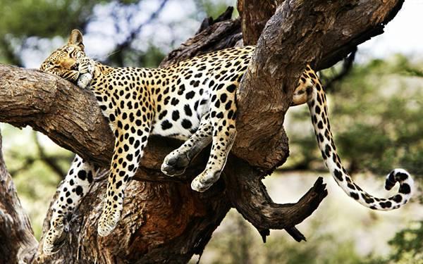 12.木の上でのんびり眠るジャガーを撮影した写真壁紙画像