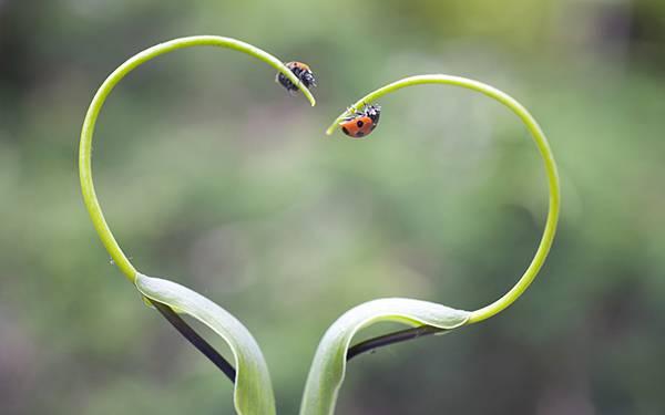 04.ハート型の草の上に乗った2匹のテントウムシを撮影した可愛い写真壁紙画像