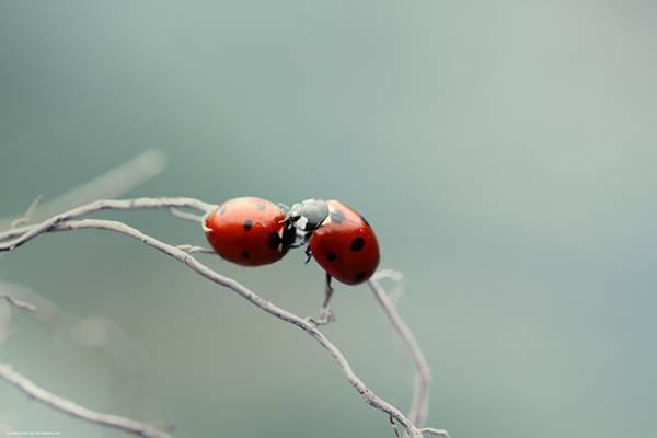 06.2匹のてんとう虫を撮影した綺麗なブルーの写真壁紙画像