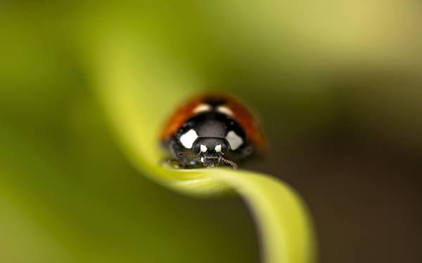 09.てんとう虫を正面からマクロ撮影した可愛い写真壁紙画像
