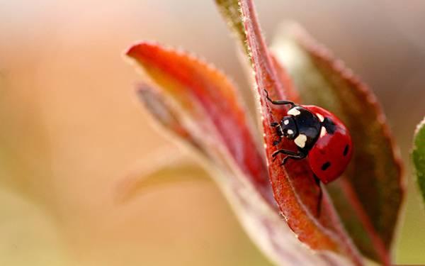 10.赤い葉の上のてんとう虫を撮影した綺麗な写真壁紙画像