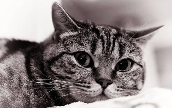 10.カメラ目線な部屋猫をアップで撮影した可愛い写真壁紙画像