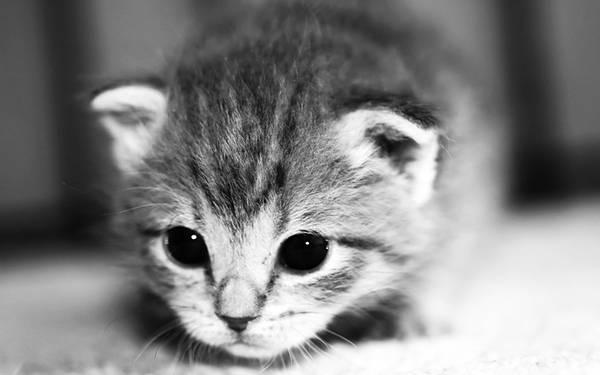 12.好奇心いっぱいな猫の赤ちゃんをアップで撮影したモノクロ写真壁紙画像
