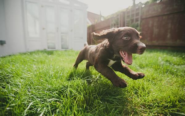 01.庭を元気に走る仔犬を撮影した綺麗な写真壁紙画像