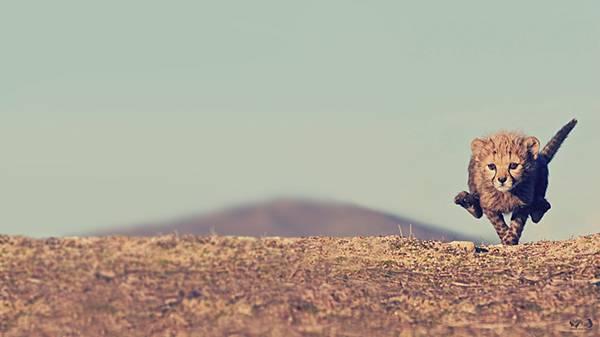 03.草原を走るチーターの子供を撮影した可愛い写真壁紙画像