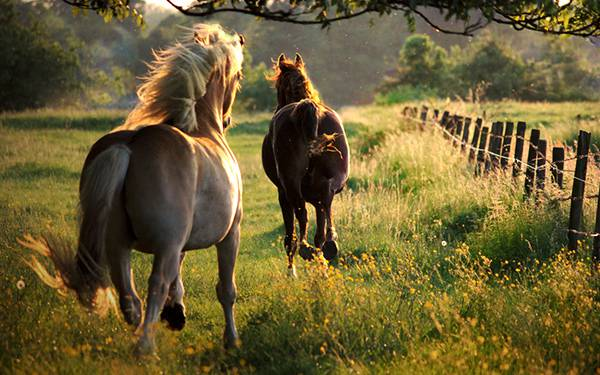 06.夕日を浴びて走る2頭の馬を撮影したかっこいい写真壁紙画像