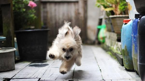08.耳をパタパタさせて元気に走るふさふさの犬の可愛い写真壁紙画像