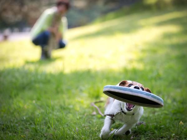 10.フリスビーをダッシュで追いかける仔犬を撮影した綺麗な写真壁紙画像