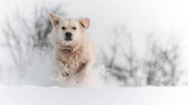 11.雪を巻き上げて走る犬を撮影した綺麗な写真壁紙画像