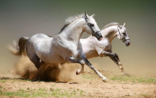 12.勢いよく砂埃を上げて駆ける2頭の白馬のかっこいい写真壁紙画像