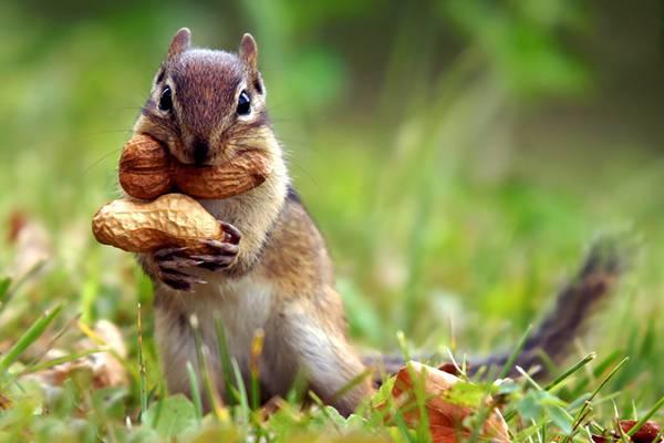 01.ピーナッツを抱えて口にもほおばったリスを撮影した可愛い写真壁紙画像