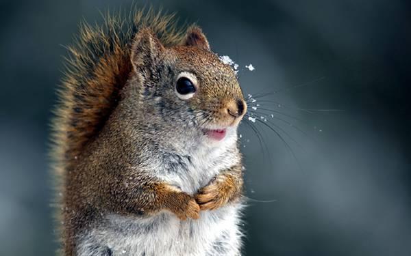 03.雪をおでこに乗せて笑顔なリスの可愛い写真壁紙画像