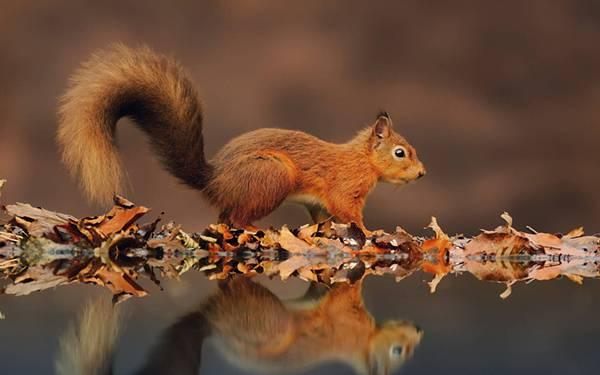 10.落ち葉と水面に映ったリスの綺麗な写真壁紙画像