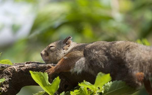 12.枝の上にうつ伏せになって気持ち良さそうに眠るリスの可愛い写真壁紙画像