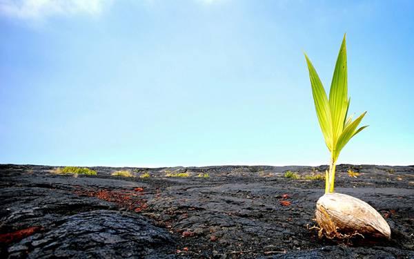 12.溶岩地帯でタネから出た芽を撮影した写真壁紙画像