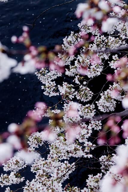 桜が見える川のフリー写真素材