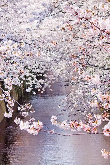 左右が満開の桜の写真素材