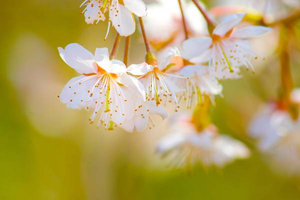 おしべとめしべが見える白い桜の綺麗な画像素材