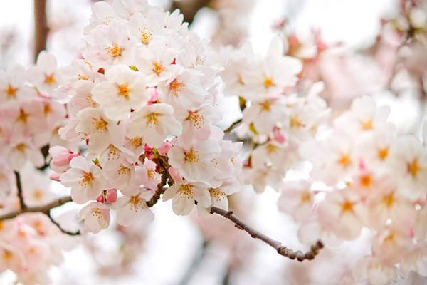 満開に近づく桜の花を撮影したフリー写真素材