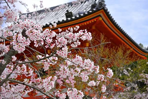 京都・仁和寺の桜のフリー写真素材
