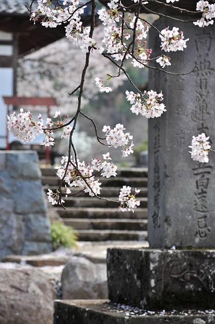 寺と桜を撮影した風情あるフリー写真素材