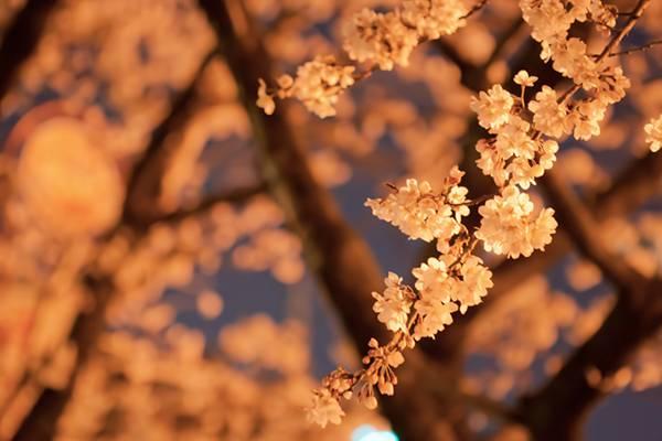 オレンジ色の光と夜桜を撮影した美しいフリー写真素材