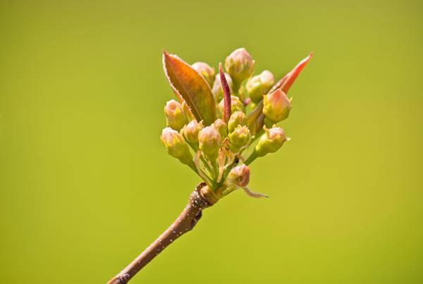 桜のツボミを撮影した可愛い写真素材